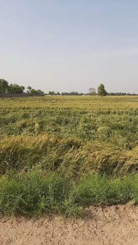 25 Acer Agricultural land 12 Month Canal water Chak 54.P Near Palace