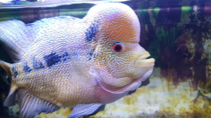 Ikan lohan dewasa 0