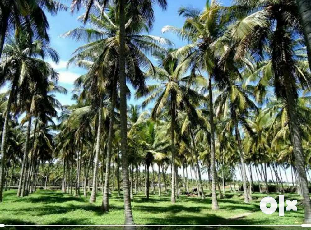 farm land with coconut trees ,with close water source kalvai &road