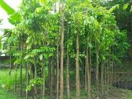 Jual pohon peneduh, pohon mahoni murah