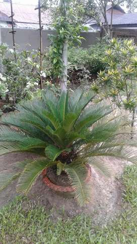 Cycas plant for sale.