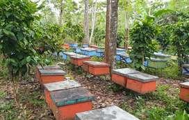 Jual bibit lebah madu meliffera siap produksi
