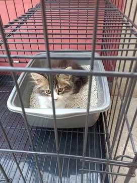 Lepas adopsi kucing persmed