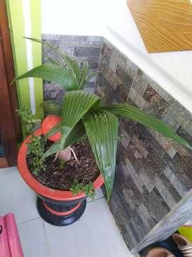 Bonsai kelapa dan pot