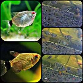 Ikan red eyes balon tetra untuk aquarium dan aquascape