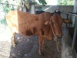 Sahiwal Cow is available for sale