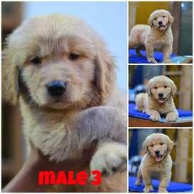 Fs.golden puppys