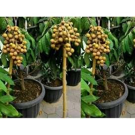 BARU Bibit Buah Kelengkeng klengkeng aroma durian Unggul - DELIFMART
