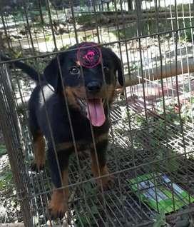 Anjing Rottweiler Non Stambum