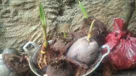 Bahan bonsai kelapa