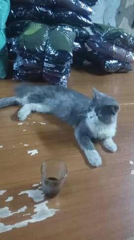 Kucing Persia satu pasang platnos dan Persia medium
