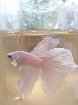 Beta fish HM BE WP