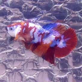 Cupang Nemoxy - Nemo galaxi
