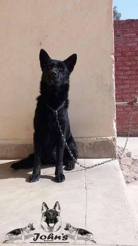 Black shepherd confirm breeder female