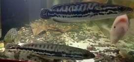 Ikan hias Toman uk 35cm up spasang