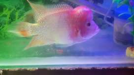 Imported gb flowerhorn fish for sale 5inch male