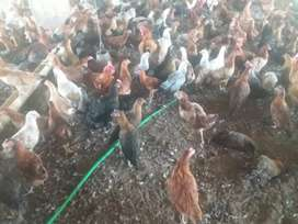 I have 3500 silver golden hen of 115 days age