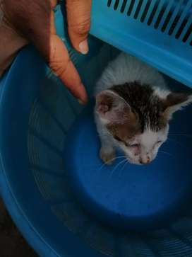 Pet club desi kitten sell