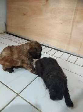 Jual anak anjing baru 2 bulan