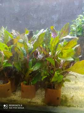 Tanaman aquascape altenentera