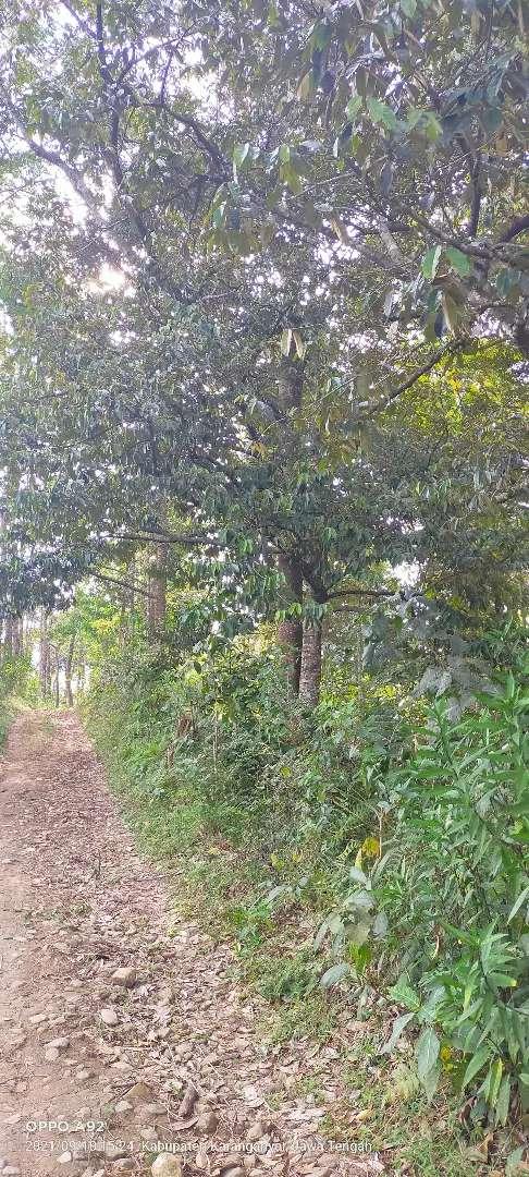 Jual bebun durian lokasi Jumantono luas 1,1Hektar harga 2,5Myd nego