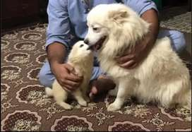 Russian ( samoyed)puppy 5 month