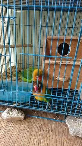 Dijual sepasang burung lovebird dan kandang