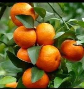 Bibit unggul jeruk santang madu