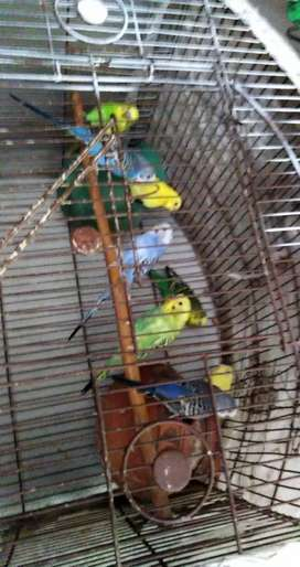 7 male 1 female Australian birds full active and healthy