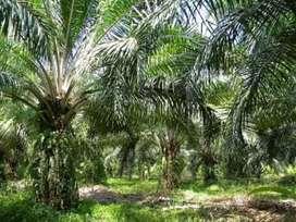 Dijual kebun kelapa sawit 10 hektar 35jt/ha PLASMA