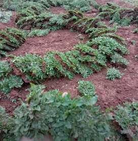 Jasa membuat taman jual rumput gajah mini permeter
