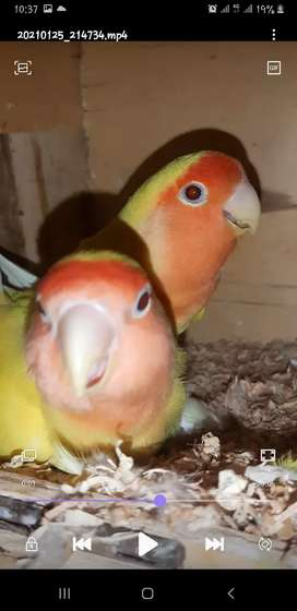 lution Red i breeder pair for sale ² pair