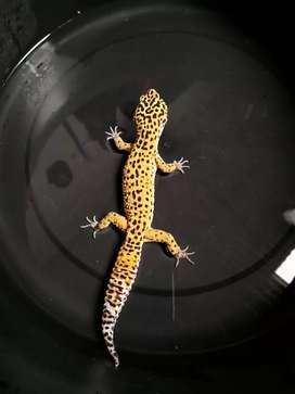leopard gecko..