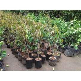 BARU DELIFMART - Bibit Buah Durian Merah Unggul