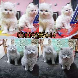 Persian cats-for SALE