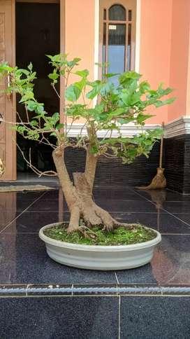 bonsai murbei big