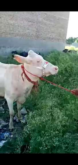 White cow 6dant kee