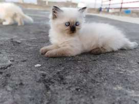 Persian kittens Extereme coated male and female