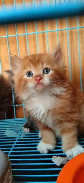 Kucing Persia Medium 2,5Bulan Merah