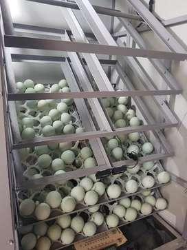 Cari telur tetas bebek siap beli banyak