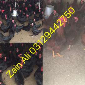 australorp chickens for sale from Pure black australorp chicks