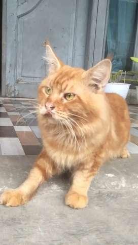 Kucing Maine Coon Pedigree