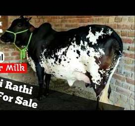 Cow For Sale Black And White For Qurbani