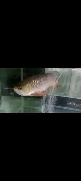 Arwana Pino panajng 30 cm