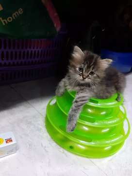 Persian 2 months cats for sell