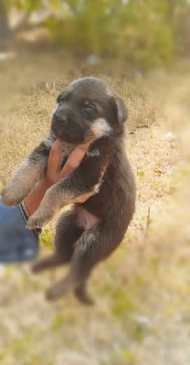Gsd doble coated puppies age 23 days
