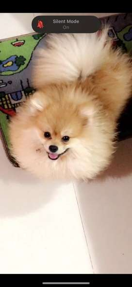 Miniature pomeranian adult male