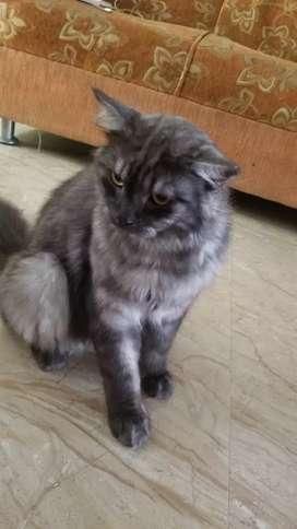 Medium Persia Marbel Abu beserta Kandang Kucing 2 Tingkat