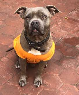 Pitbull for stud FREE - only give one puppy