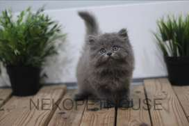 Kitten Kucing Persia longhair flatnose, medium, himalaya, ragdoll